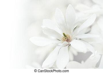 blanco,  magnolia, flores