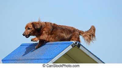 Dachshund at a Dog Agility Trial - Dachshund Climbing Over...