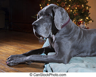 Holiday Great Dane - Blue Great Dane laying on its bed next...