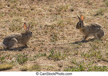 Cottontail Face off - a pair of cottontail rabbits facing...