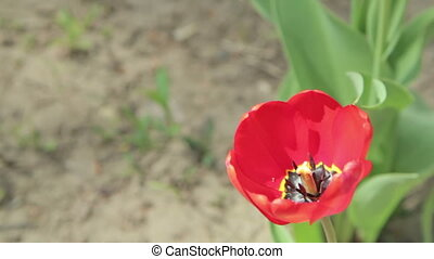 Red tulip in the garden with green natural background