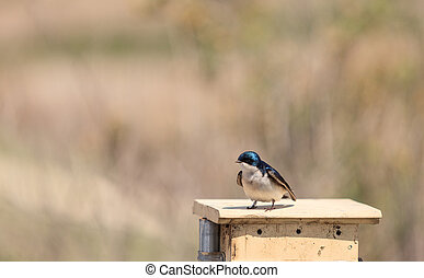 Blue Tree swallow bird, Tachycineta bicolor, sits on a...