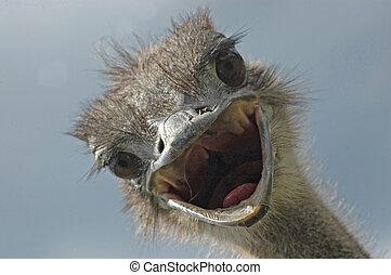 Ostrich attack - Portrait of threatening female ostrich