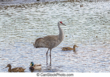 American crane in the water