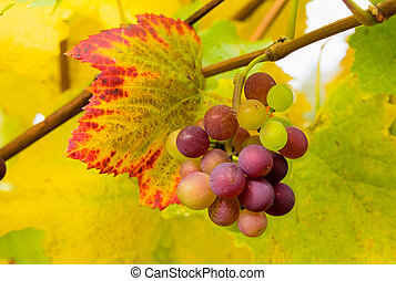 Wine Grapes on Grapevine Closeup