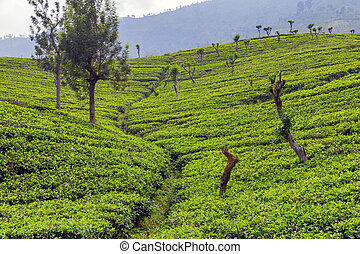 plantations green tea fields