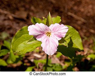 Mauve trillium in forest - Individual trillium plant flowers...