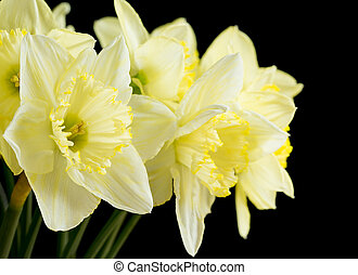 Bunch of pale yellow daffodils