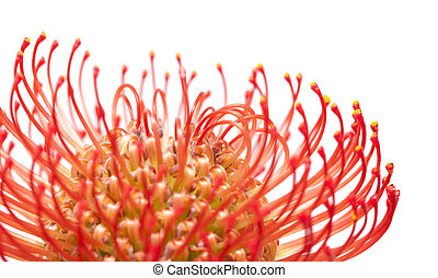 red protea flower macro isolated on white background