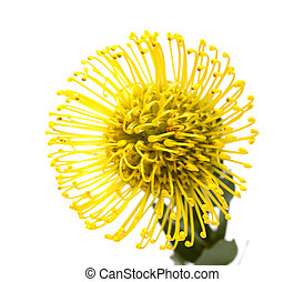 yellow protea flower isolated on white background