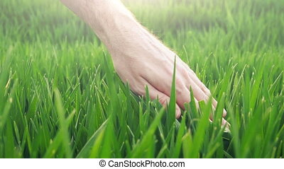 Farmer's hand in green wheat - Farmer's hand in cultivated...