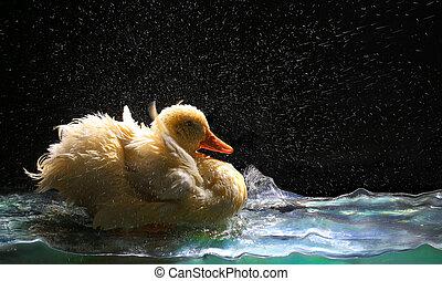 biały, duck, ,