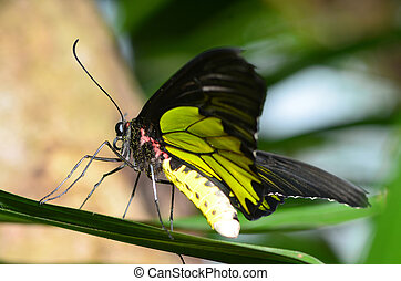 butterfly, one - Beautiful butterfly emerges from a cocoon...