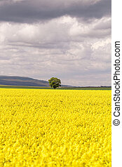 Colza field - Field of rapeseed against sky with clouds