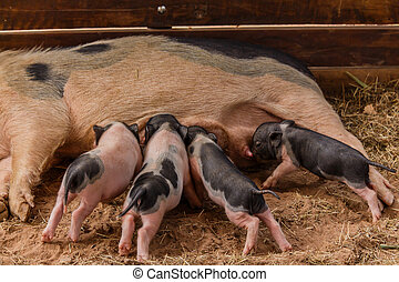 Newborn pigs are trying to suckle from its mother pig.