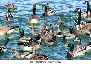 New Mexico birds wild ducks, goose and geese waterfowl in...