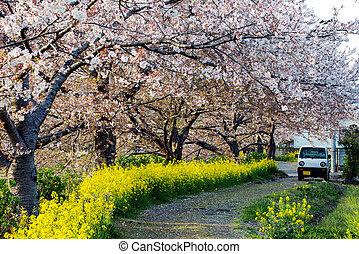 hermoso, Cereza, árboles, en, flor, en, Un, jardín, Durante,...