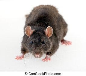 negro, rata