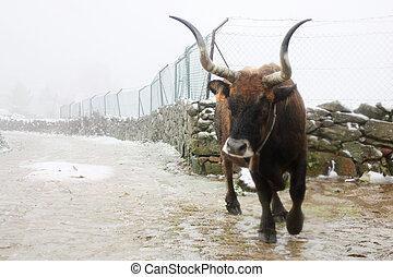 Raging bull - A raging bull is running towards the camera