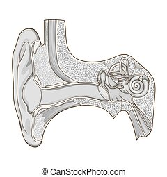 Human ear structure medical educational vector - Human ear...