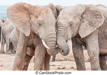 African elephants interacting - Two young, mud covered,...