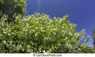 Bird cherry branches with white flowers shake at a blue sky background. Slow motion