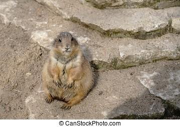 prairie dog - watchful prairie dog on a rock