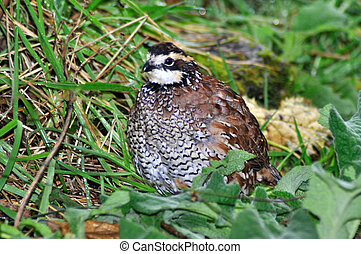 bobwhite quail - male Northern Bobwhite, Virginia Quail or...