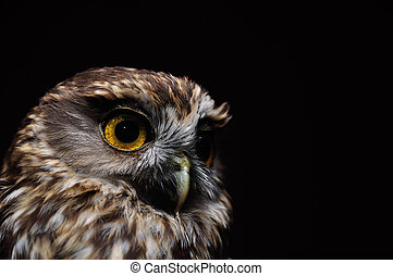 morepork portrait - Portrait of New Zealand's iconic...