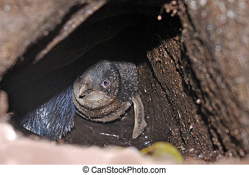 blue penguin in burrow - Little Blue Penguin, Eudyptula...