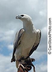 sea eagle - Australian White-breasted sea eagle, Haliaetus...