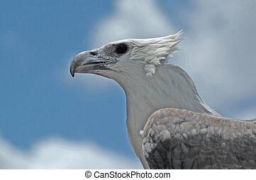 sea eagle - Wind ruffles the nape feathers of an Australian...