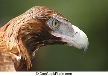 wedge-tailed eagle - Portrait of immature Australian...