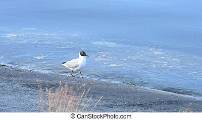 Tern stands and walks along coastline near blue water surface