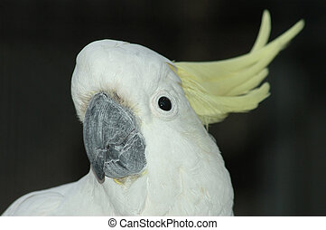 sulphur-crested cockatoo - Portrait of Australian...