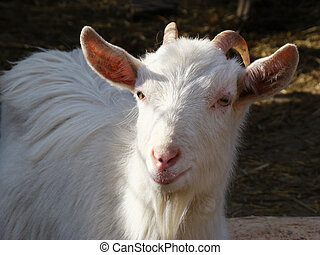 goat, dairy goat, white goat, horned goat, domestic animals,...