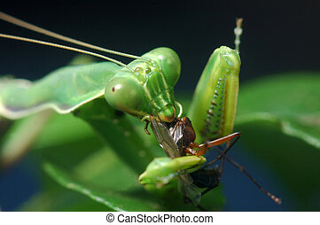 time for lunch - Spotted praying mantis eating another...