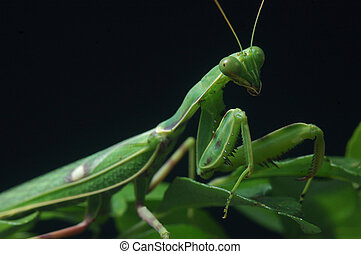 Spotted Praying Mantis - Spotted praying mantis, on leaves...