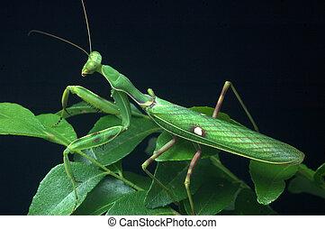 Spotted Praying Mantis - Spotted praying mantis, on leaves...