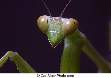Praying Mantis - Portrait of Giant Indian Praying mantis,...
