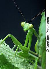 Praying Mantis - Giant Indian Praying mantis, probably...