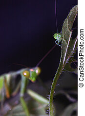 sizing up lunch - Giant Indian Praying mantis, probably...