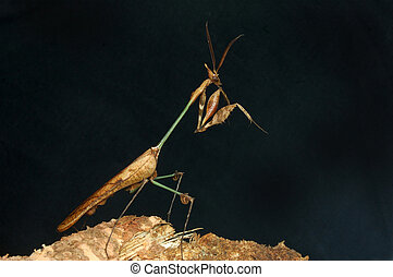 Violin Mantis - Well camouflaged mantis similar to the...