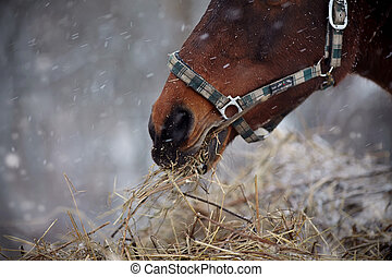 Muzzle of a brown horse in a halter with hay.