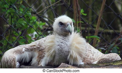 Himalayan Griffon Vulture Close-up - Portrait of The...
