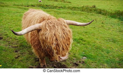 Scittish highland cow - Light blond Scottisch highland cow...