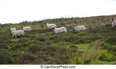 Flock of sheep running running through Scottisch landscape...