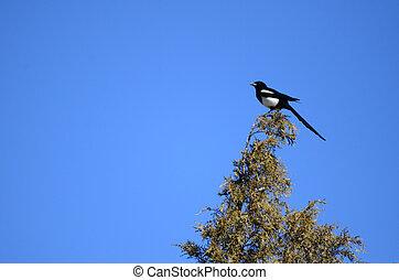Black-billed, Urracas,