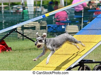 Miniature Schnauzer at Dog Agility Trial - Miniature...