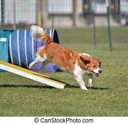 Mixed-Breed Dog at Agility Trial